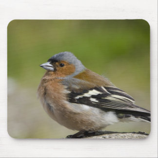 Male Chaffinch (WILD: Fringilla coelebs) Mouse Pad