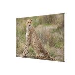 male Cheetah, Acinonyx jubatus, Serengeti, Canvas Print