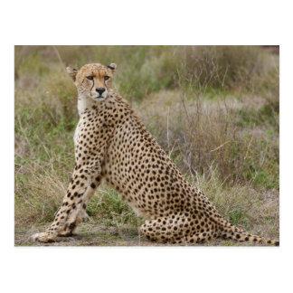 male Cheetah, Acinonyx jubatus, Serengeti, Post Cards