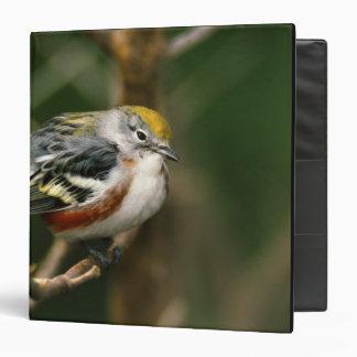 Male Chestnut-sided Warbler, Dendroica Binder