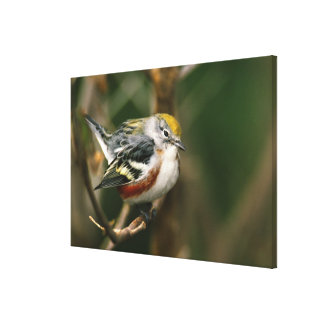 Male Chestnut-sided Warbler, Dendroica Canvas Print