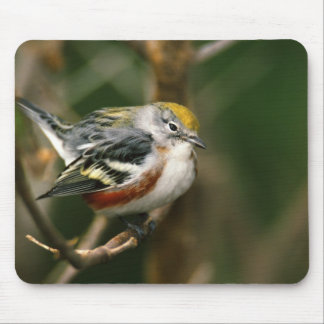 Male Chestnut-sided Warbler, Dendroica Mouse Pad
