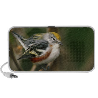 Male Chestnut-sided Warbler, Dendroica iPod Speakers