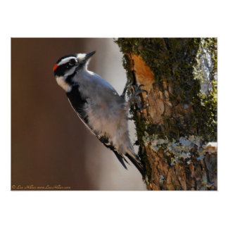 Male Downy Woodpecker on Tree Poster