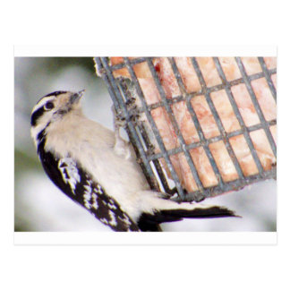 Male Downy Woodpecker Postcard
