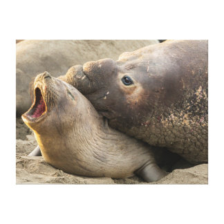 Male elephant seal gives love bite to female canvas print