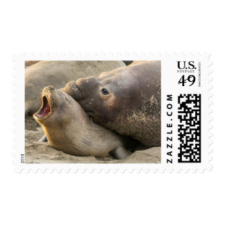 Male elephant seal gives love bite to female postage