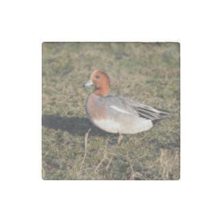 Male Eurasian Wigeon Duck walks in a grassy field Stone Magnet