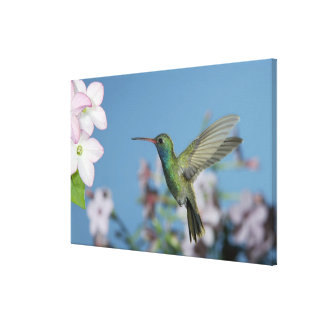 Male feeding on Nicotiana (Nicotiana ssp.), Canvas Print