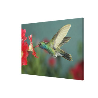male feeding on Petunia, Madera Canyon, Arizona, Canvas Print
