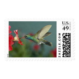 male feeding on Petunia, Madera Canyon, Arizona, Postage Stamp