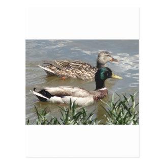 Male & Female Mallard Postcard