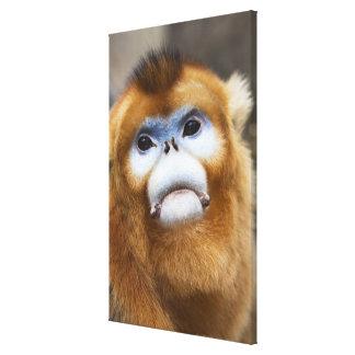 Male Golden Monkey Pygathrix roxellana, portrait Canvas Print