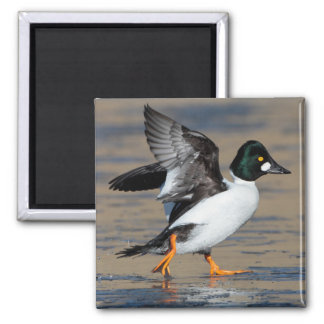 male goldeneye flap 2 inch square magnet