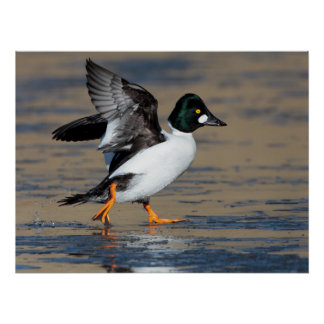 Male Goldeneye flapping on ice Poster