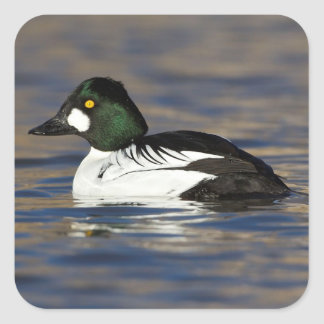 male Goldeneye Square Sticker
