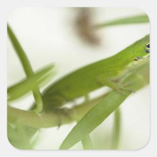 Male green anole, Anolis carolinensis, in a Square Sticker
