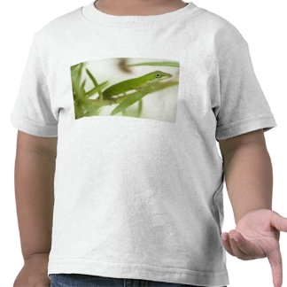 Male green anole, Anolis carolinensis, in a Shirts