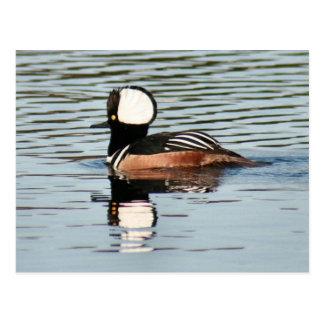Male Hooded Merganser Duck Photo Postcard