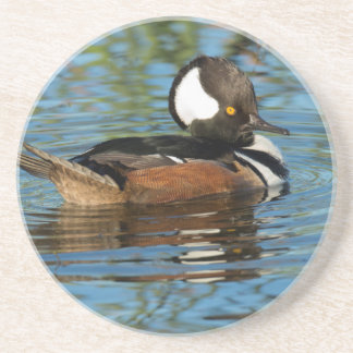 Male Hooded merganser with crest raised Drink Coaster