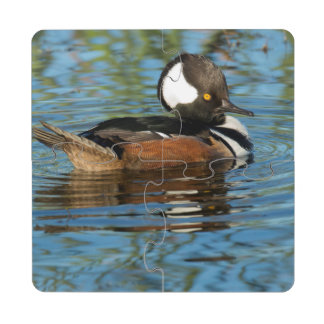 Male Hooded merganser with crest raised Puzzle Coaster