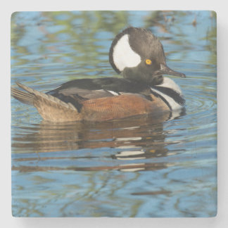 Male Hooded merganser with crest raised Stone Coaster