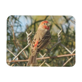 Male House Finch Magnet