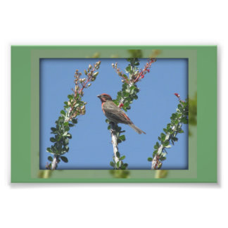 Male House Finch on Ocotillo Photo Art