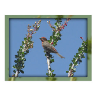 Male House Finch on Ocotillo Postcard