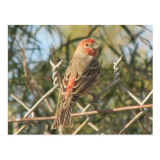 Male House Finch Postcard