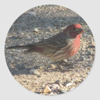 Male House Finch Stickers