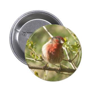 Male House Sparrow Button