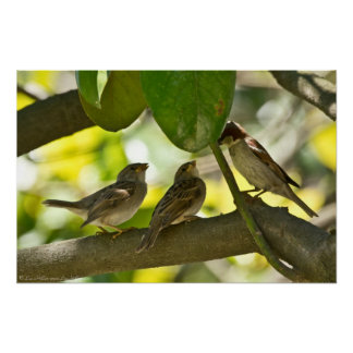 Male House Sparrow Feeding Babies Poster