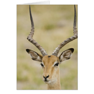 Male impala with beautiful horns in soft light card
