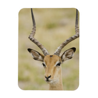 Male impala with beautiful horns in soft light magnet