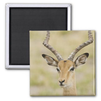 Male impala with beautiful horns in soft light fridge magnets
