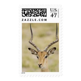Male impala with beautiful horns in soft light postage