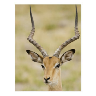 Male impala with beautiful horns in soft light postcard