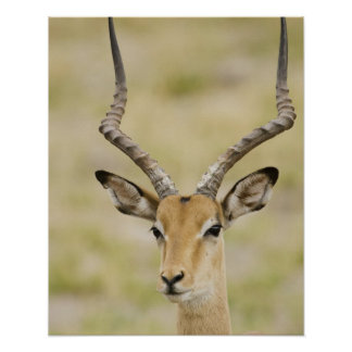 Male impala with beautiful horns in soft light print