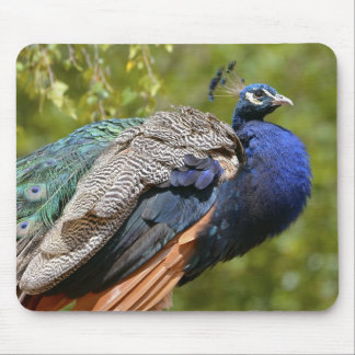 Male Indian Peafowl Mouse Pad