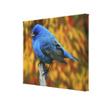 Male Indigo Bunting, Passerina cyanea Stretched Canvas Prints