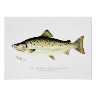 Male Land-locked Salmon or Quaniche Poster