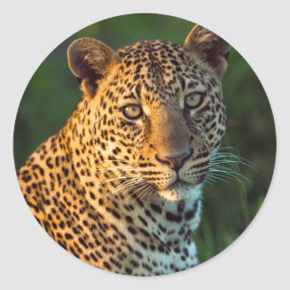 Male Leopard (Panthera Pardus) Full-Grown Cub Classic Round Sticker
