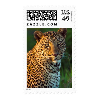Male Leopard (Panthera Pardus) Full-Grown Cub Stamps