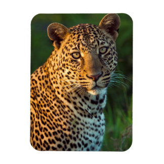 Male Leopard (Panthera Pardus) Full-Grown Cub Rectangular Photo Magnet