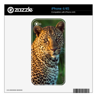 Male Leopard (Panthera Pardus) Full-Grown Cub Skin For iPhone 4