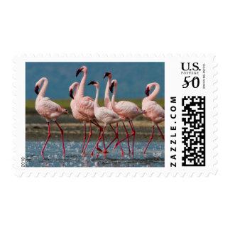 Male Lesser Flamingos (Phoenicopterus Minor) Postage