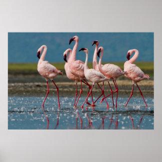 Male Lesser Flamingos (Phoenicopterus Minor) Poster