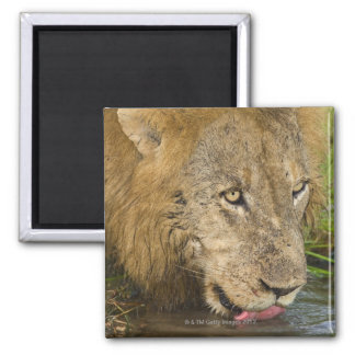 Male lion drinking, Greater Kruger National 2 Inch Square Magnet
