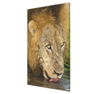 Male lion drinking, Greater Kruger National Canvas Print